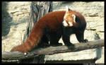 Red Panda looking back