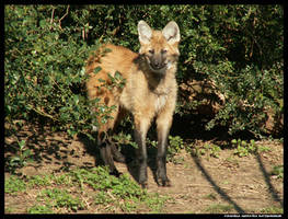 Maned Wolf Pup in the Sun by leopatra-lionfur
