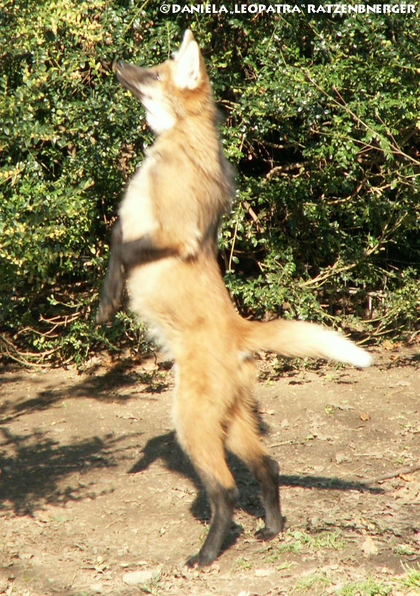 Maned Wolf Pictures Maned Wolf Pup Standing Jfr