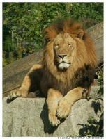 zZz Lion by leopatra-lionfur