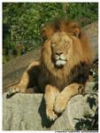 zZz Lion