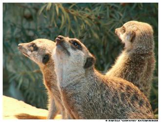 Three Meerkats by leopatra-lionfur