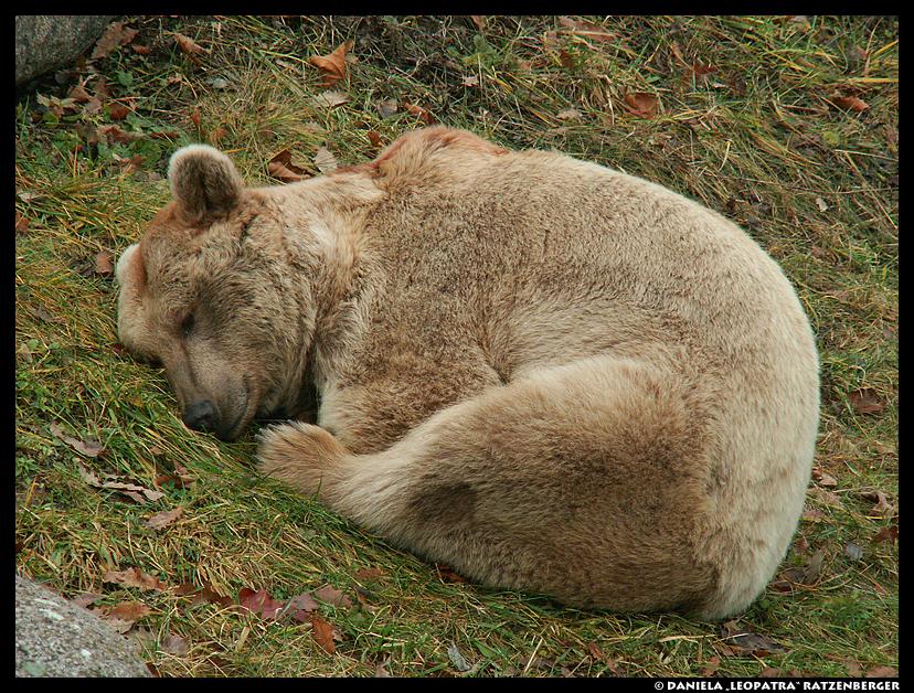 ZzZ Bear by leopatra-lionfur