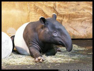 Malayan Tapir by leopatra-lionfur