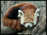 Red Panda ZzZ