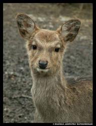 Sika Deer by leopatra-lionfur