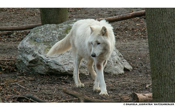 Mackenzie valley wolf - photo#19