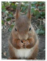 - A Squirrel - by leopatra-lionfur