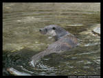 Swimming Otter
