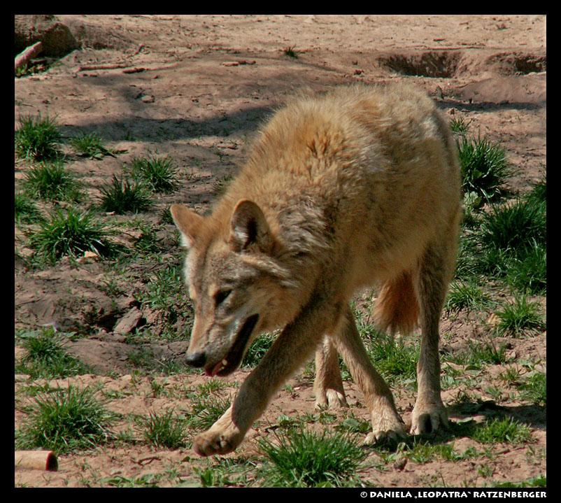 http://fc05.deviantart.net/fs11/f/2007/118/3/2/Dancing_Wolf_by_leopatra_lionfur.jpg