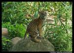 Tiger Cub on Rock