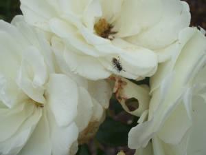 Rose Wallpaper: White