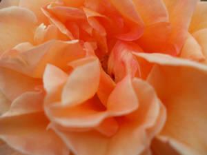 Rose Wallpaper: Orange