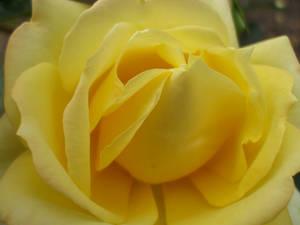 Rose Wallpaper: Yellow