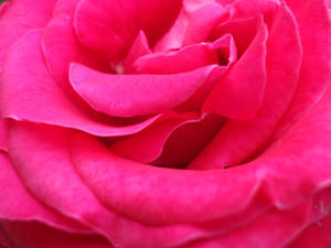 Rose Wallpaper: Purple