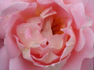 Rose Wallpaper: Pink