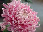 Chrysanthemum 6 by StarflameMoonfire