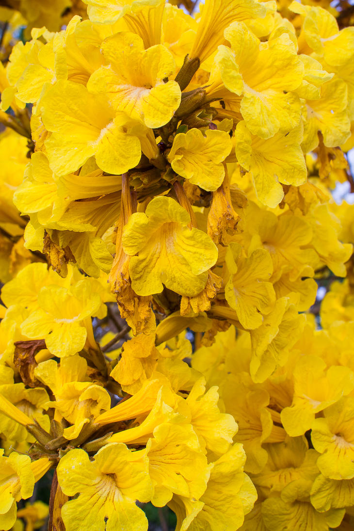 Tabebuia flowers by speedofmyshutter