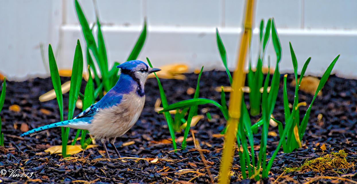 Blue Jay-2 a by vin113