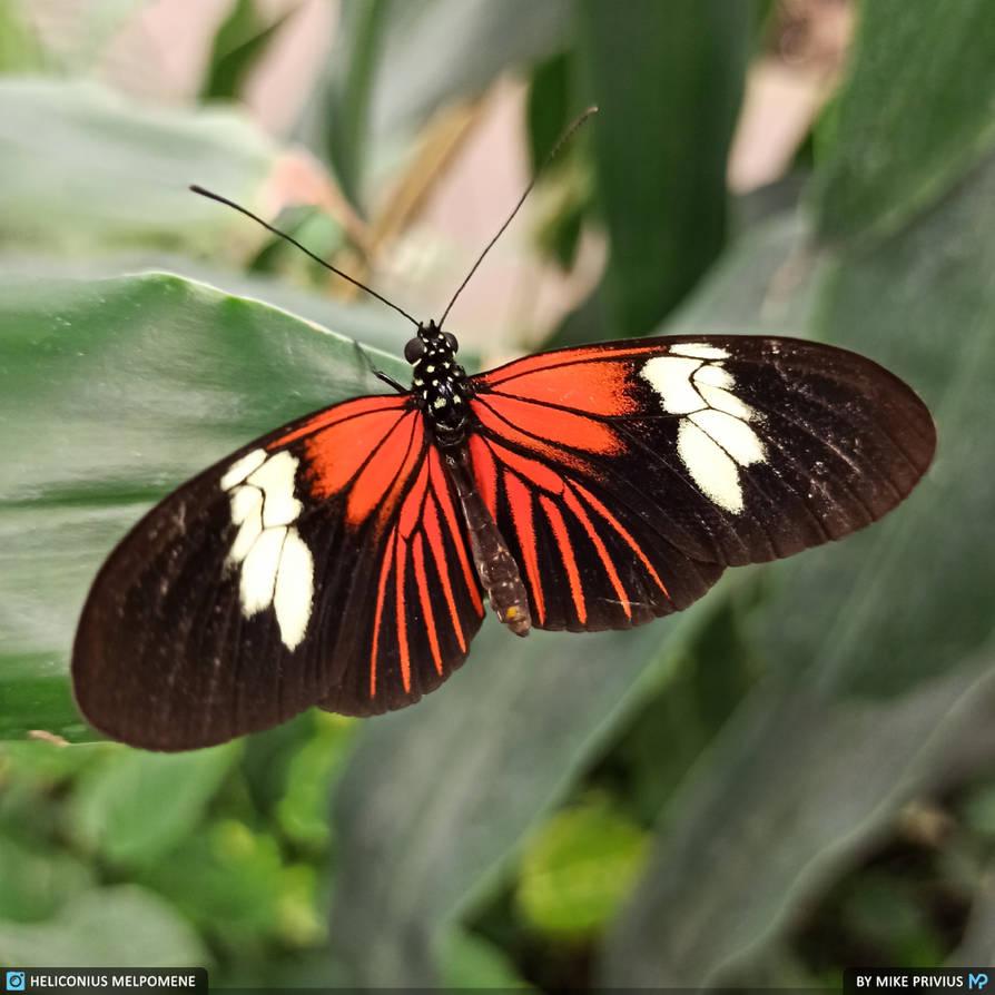 [Photo] Heliconius melpomene (Postman Butterfly)