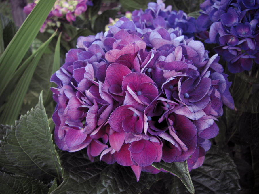 Hortensia by jparmstrong