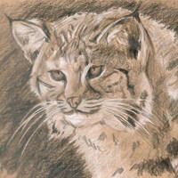 Lince by jparmstrong
