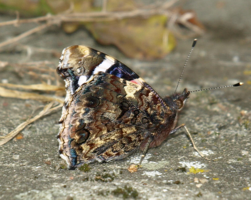 Red Admiral 2 by lars314