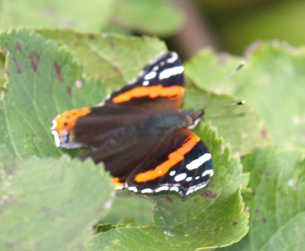 Red Admiral 3 by lars314
