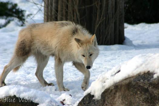 Jungwolf in Schnee