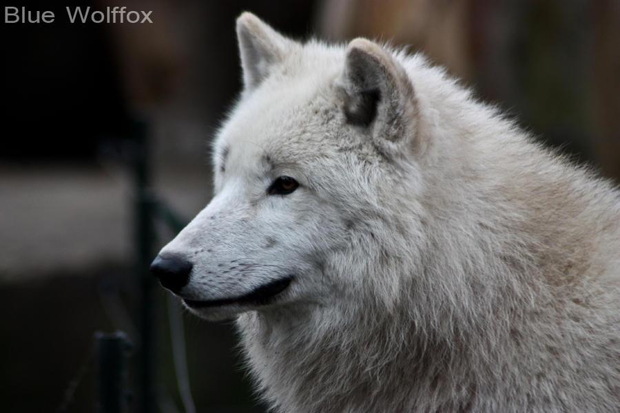 Kanadischer Wolf XXXII by VitaniFox85