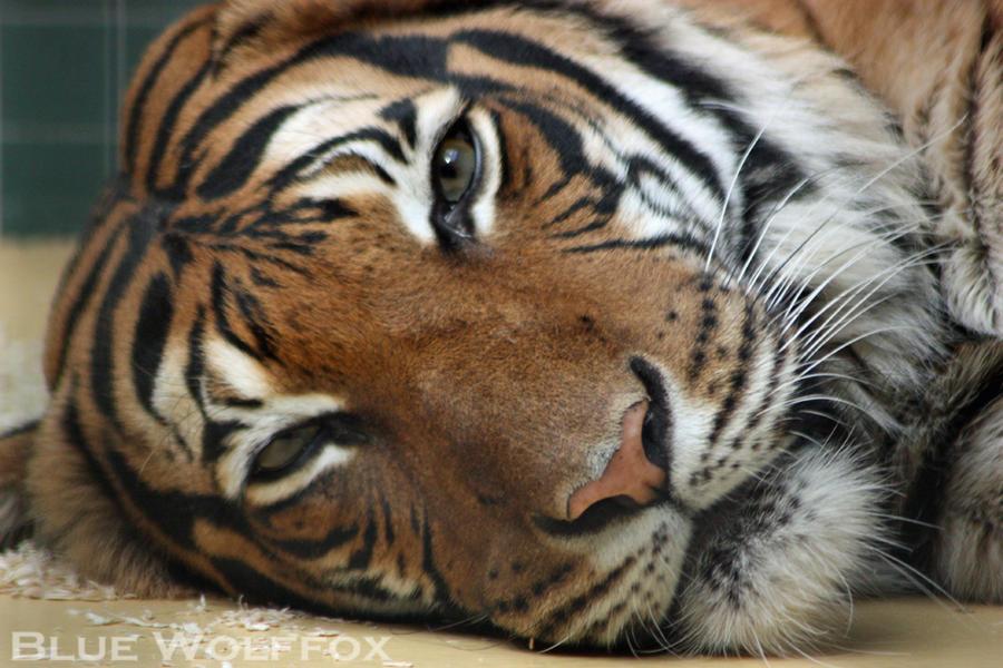 Tiger by VitaniFox85