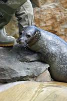 Seal II by VitaniFox85