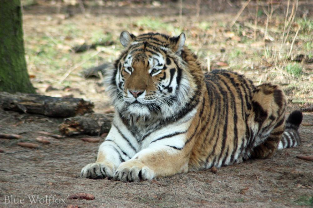 Amur Tiger by VitaniFox85