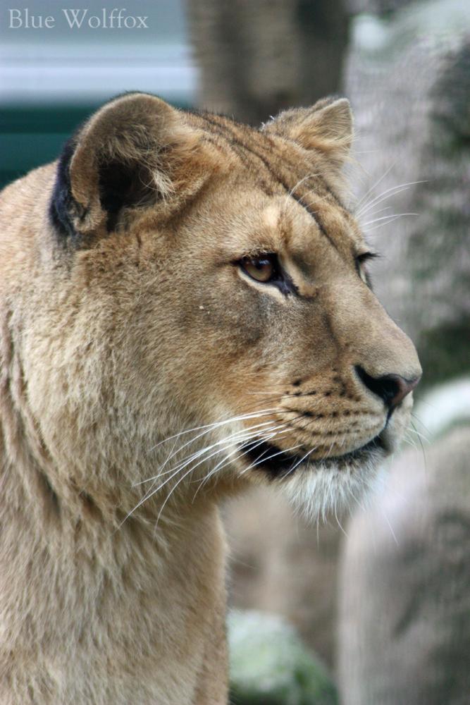 Lioness by VitaniFox85