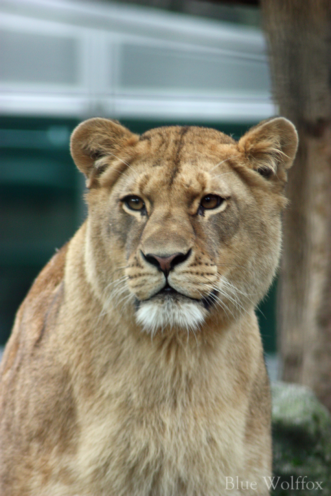 Lioness II by VitaniFox85