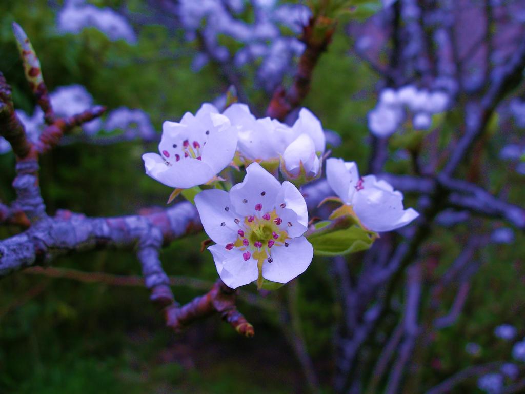 Cherry Tree Flowers By Lazy