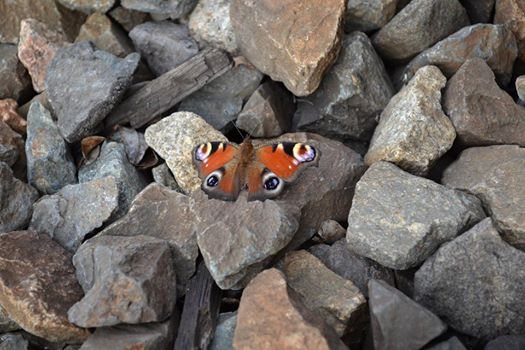 gemlins butterfly by lazy-haruka