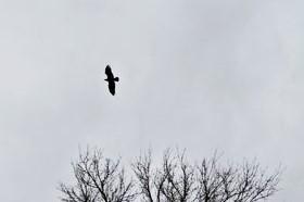 the raven by ArtistOfDawn