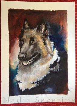 Portrait of a belgian shephard