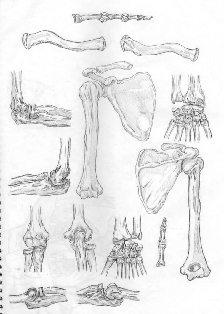 upper limb bones by Binkoas on DeviantArt