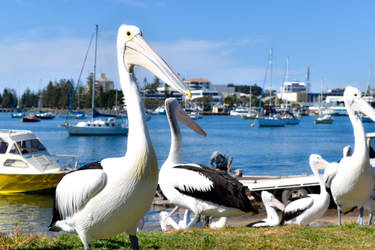 Pelican by the Marina