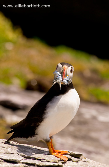Puffin I by ERB20
