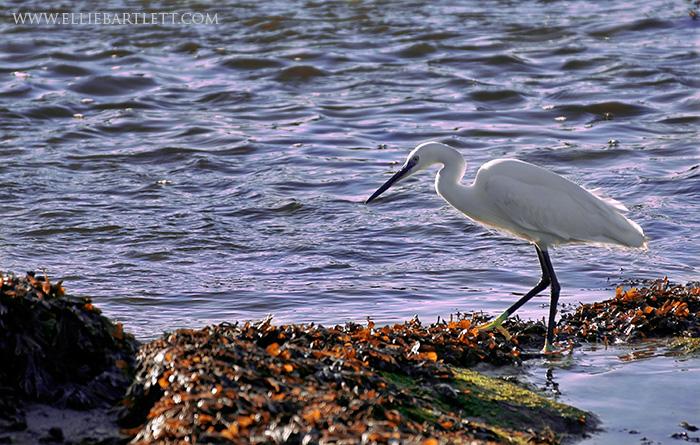 Little Egret by ERB20
