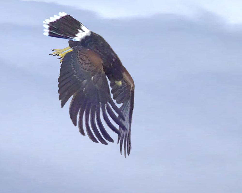 Hawk Dive Bald Eagle In Nest Photos Diagrams Topos Summitpost Harris On Deviantart 999x799