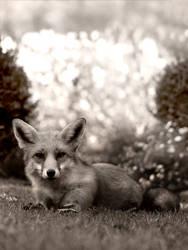 Autumn Fox by DappledLight