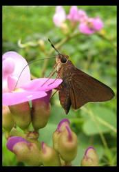 Lepidoptera: Skipper by shuttermonkey