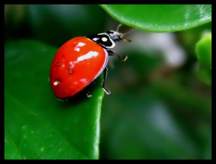 Ladybug by shuttermonkey - u�ur b�cekli avatarlar