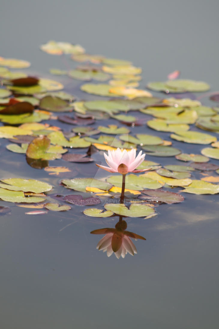 Water Lily 2 by Yumi-san89