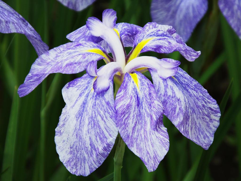 Iris6755 by itsumo-akubi-ake