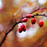 berries in square by Lisa-Schneider